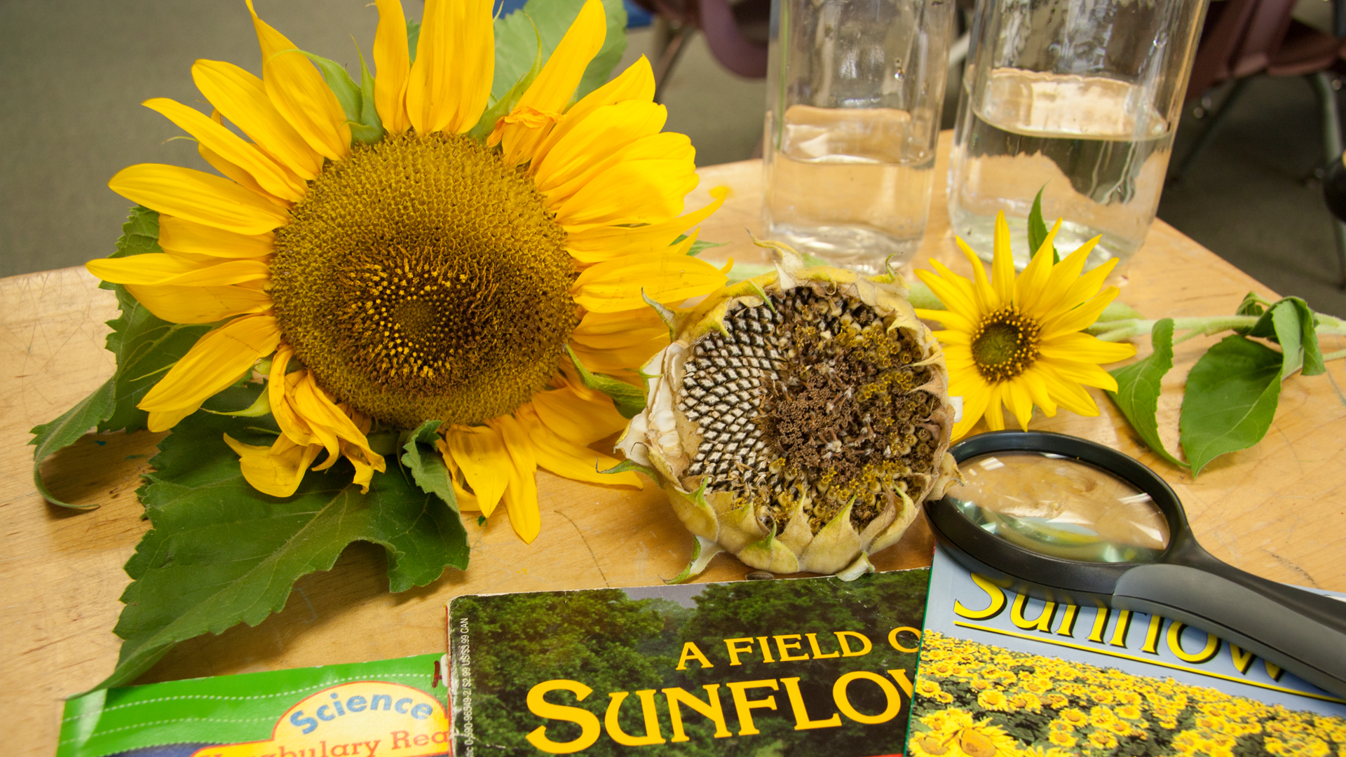 Sunflowers in the classroom love laughter and literacy fandeluxe PDF
